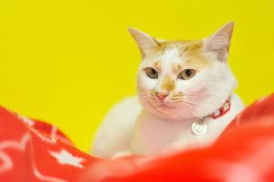 愛猫の素材 [FYI00389646]