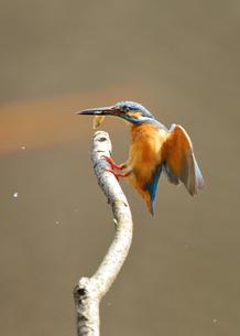 魚を咥えたカワセミの写真素材 [FYI00389966]