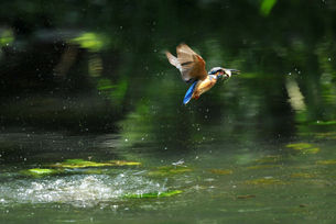 カワセミの捕食の写真素材 [FYI00390376]