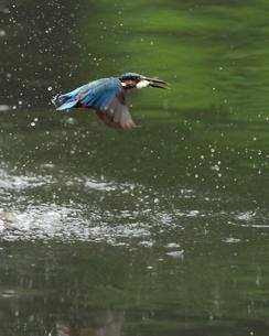 カワセミの捕食の写真素材 [FYI00390381]