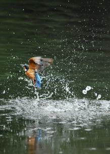 カワセミの水浴びの写真素材 [FYI00390386]