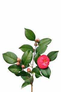 椿の花の素材 [FYI00390939]