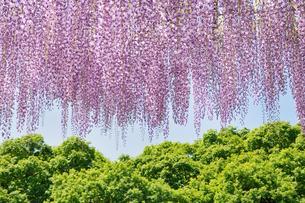 藤の花の写真素材 [FYI00391279]