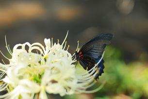 彼岸花とアゲハの写真素材 [FYI00391400]