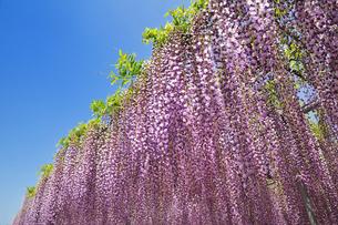 藤の花の写真素材 [FYI00391444]