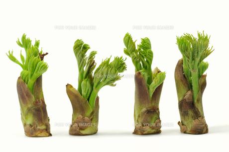 タラの芽の写真素材 [FYI00391757]