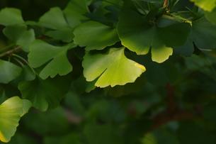 イチョウの葉の写真素材 [FYI00391970]