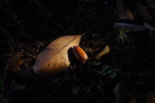 ドングリと枯れ葉の素材 [FYI00391973]