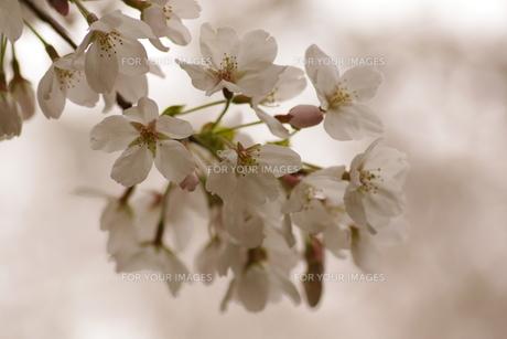 桜(ソメイヨシノ)の素材 [FYI00391992]