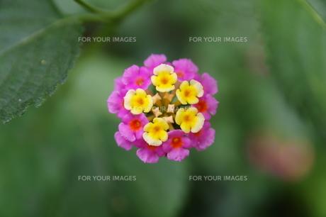 ランタナの花の素材 [FYI00391993]