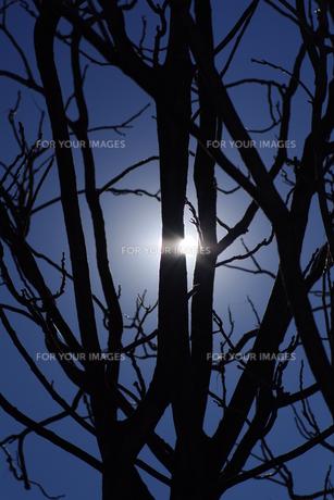 枯れ木と冬空の素材 [FYI00391994]