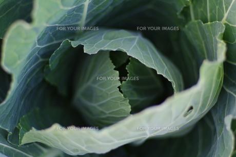 キャベツの葉の素材 [FYI00391996]