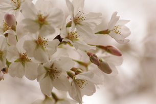 桜(ソメイヨシノ)の素材 [FYI00392004]