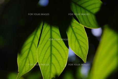 冬陽を浴びる木の葉の素材 [FYI00392006]