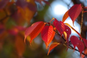 紅葉の葉(ヤマザクラ)の素材 [FYI00392028]