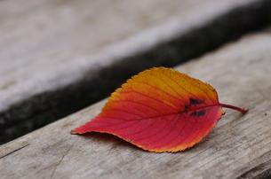 ヤマザクラの落葉の素材 [FYI00392042]
