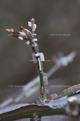 ニシキギの枯れ枝の写真素材 [FYI00392060]