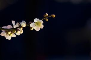 梅郷(バイゴウ)の花の素材 [FYI00392125]