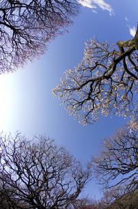 梅林(バイゴウ)の樹の素材 [FYI00392129]