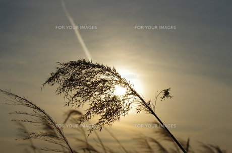 夕陽と葦の穂の素材 [FYI00392131]