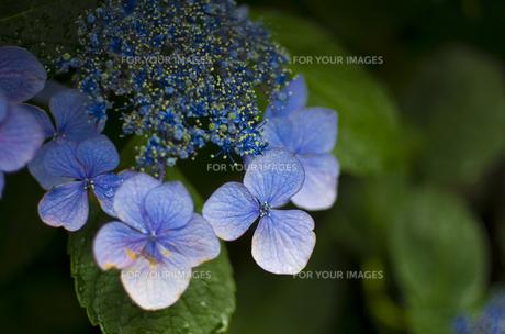 雨の日の紫陽花の素材 [FYI00392154]