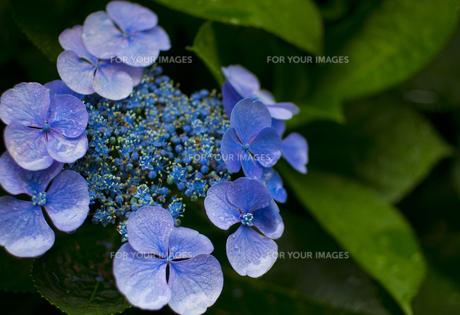 雨の日の紫陽花の素材 [FYI00392155]