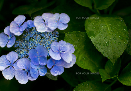 雨の日の紫陽花の素材 [FYI00392160]