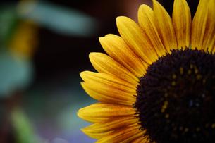 ひまわりの花の素材 [FYI00392233]