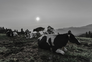 乳牛の素材 [FYI00392241]