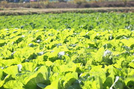 白菜畑の写真素材 [FYI00392848]