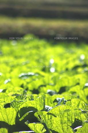 白菜畑の写真素材 [FYI00392849]