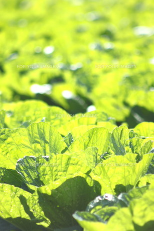 白菜畑の写真素材 [FYI00392857]