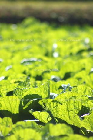 白菜畑の写真素材 [FYI00392867]