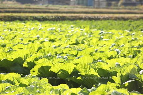 白菜畑の写真素材 [FYI00392868]