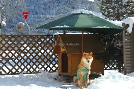 柴犬の写真素材 [FYI00392982]