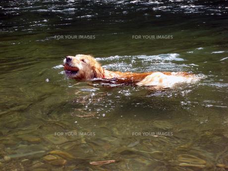 松ぼっくりを咥えて泳ぐゴールデンレトリーバーの写真素材 [FYI00393111]