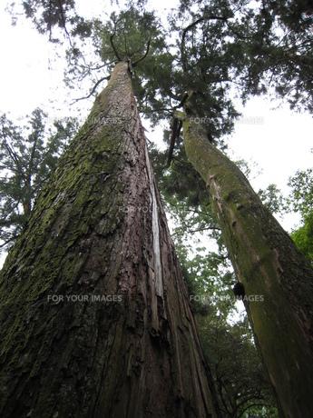 空にそびえる杉の大木の写真素材 [FYI00393114]