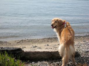 海に行きたいゴールデンレトリーバーの写真素材 [FYI00393133]