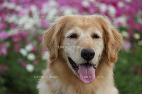 花畑とゴールデンレトリーバーの写真素材 [FYI00393158]