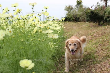 コスモス畑を散歩するゴールデンレトリーバーの写真素材 [FYI00393191]