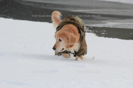 雪の中のゴールデンレトリーバーの写真素材 [FYI00393269]