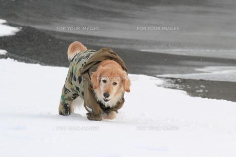 雪の中のゴールデンレトリーバーの写真素材 [FYI00393285]