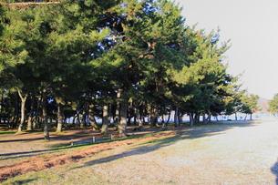 琵琶湖の松林の素材 [FYI00393324]