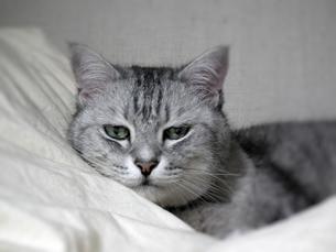 鯖トラの猫の写真素材 [FYI00393389]