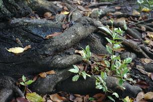 老木からの若木の写真素材 [FYI00393406]