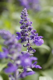 ブルーサルビアの花の写真素材 [FYI00393410]