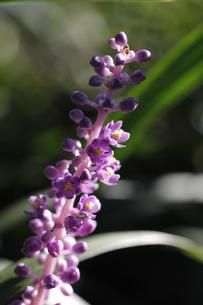 ヤブランの花の写真素材 [FYI00393414]