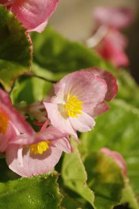 ベゴニアの花の写真素材 [FYI00393418]