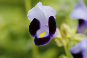 カリブラコアの花(紫)の写真素材 [FYI00393420]