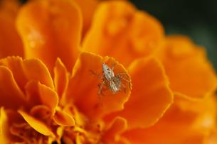 マリーゴールドとクモの写真素材 [FYI00393421]